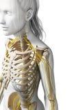 Sistema nervioso femenino Fotografía de archivo libre de regalías