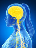 Sistema nervioso femenino Fotografía de archivo
