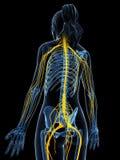 Sistema nervioso femenino Fotos de archivo libres de regalías