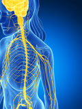 Sistema nervioso femenino Imagen de archivo