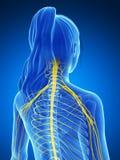 Sistema nervioso femenino Imagenes de archivo