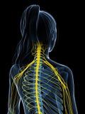 Sistema nervioso femenino Imagen de archivo libre de regalías