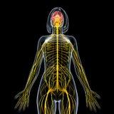 Sistema nervioso femenino en negro Imágenes de archivo libres de regalías