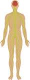 Sistema nervoso Foto de Stock
