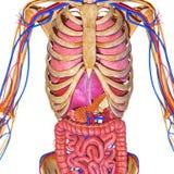 Sistema nervoso con gli organi Fotografia Stock Libera da Diritti