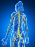 Sistema nervoso fêmea Foto de Stock