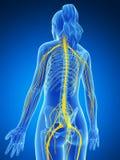 Sistema nervoso femminile Fotografia Stock