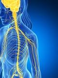 Sistema nervoso femminile Immagine Stock