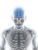sistema nervoso masculino da ilustração 3D ilustração royalty free