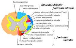 Sistema nervoso: a matéria branca de medula espinal Fotos de Stock