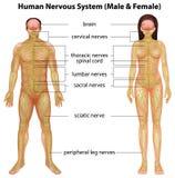 Sistema nervoso umano Fotografie Stock