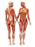 Sistema osteomuscolare femminile Fotografia Stock Libera da Diritti