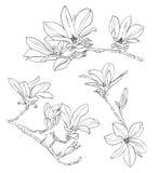 Sistema realista dibujado mano del dibujo de la magnolia Imagen de archivo