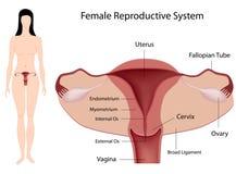 Sistema reproductivo femenino Imágenes de archivo libres de regalías