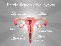 Sistema reproductivo femenino Fotografía de archivo libre de regalías