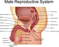 Sistema reproductivo masculino Imágenes de archivo libres de regalías