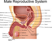 Sistema reprodutivo masculino Imagens de Stock Royalty Free