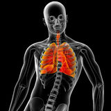 Sistema respiratório Imagens de Stock Royalty Free
