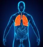 Sistema respiratório humano ilustração stock