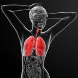 Sistema respiratorio Imagenes de archivo