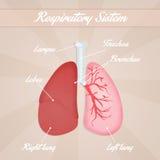 Sistema respiratorio Imágenes de archivo libres de regalías