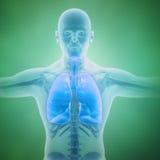 Sistema respiratorio científico Foto de archivo libre de regalías