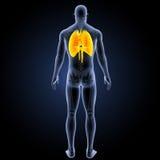 Sistema respiratorio con la visión posterior esquelética Fotos de archivo