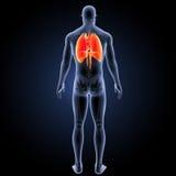 Sistema respiratorio con la visión posterior esquelética Imagenes de archivo