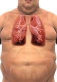 Sistema respiratorio de cuerpo gordo Imágenes de archivo libres de regalías