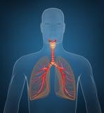 Sistema respiratorio en fondo azul Imágenes de archivo libres de regalías