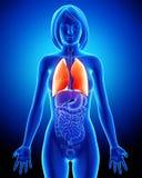 Sistema respiratorio femenino con los pulmones Fotos de archivo libres de regalías