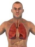 Sistema respiratorio humano Imágenes de archivo libres de regalías