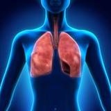 Sistema respiratorio humano Imagen de archivo libre de regalías