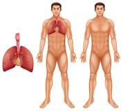 Sistema respiratorio humano Fotografía de archivo libre de regalías