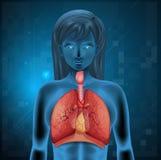 Sistema respiratorio humano Foto de archivo