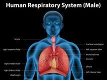 Sistema respiratorio humano Fotos de archivo libres de regalías