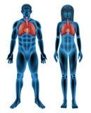 Sistema respiratorio humano Fotografía de archivo