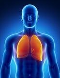Sistema respiratorio humano con los pulmones Imágenes de archivo libres de regalías
