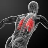 Sistema respiratorio humano en radiografía Imágenes de archivo libres de regalías