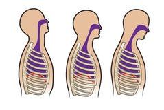 Sistema respitory umano dentro   Immagine Stock