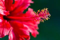 Sistema riproduttivo del fiore dell'ibisco fotografie stock