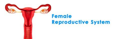 Sistema riproduttivo femminile Fotografie Stock Libere da Diritti