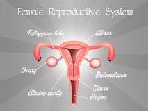Sistema riproduttivo femminile Fotografia Stock Libera da Diritti