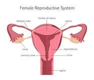 Sistema riproduttivo femminile Immagini Stock Libere da Diritti