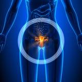 Sistema riproduttivo - organi femminili - anatomia umana Fotografie Stock