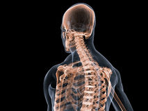 Sistema scheletrico Immagini Stock