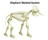 Sistema scheletrico di un elefante Immagine Stock Libera da Diritti