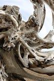 Sistema turbinato della radice del tronco di albero eroso stagionato lavato su sulla spiaggia immagine stock