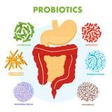 Sistema umano dell'apparato digerente con i probiotici Microflora umana dell'intestino Probiotici microscopici, buona flora batte royalty illustrazione gratis