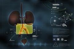 Sistema urinario Imagen de archivo libre de regalías